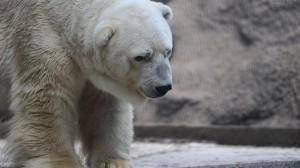 Smutný medvěd Arturo, hlavní hrdina podpisové akce, do které se zapojily statisíce lidí. Foto: Mashable